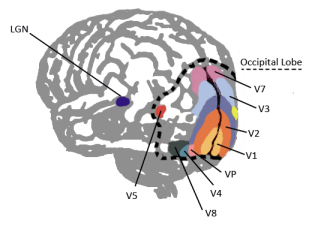 brain visual cortex