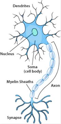 Anatomy of a Neuron // Source: http://askabiologist.asu.edu/neuron-anatomy